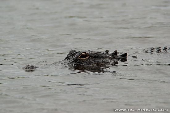 Aligátor severoamerický (Alligator mississippiensis)