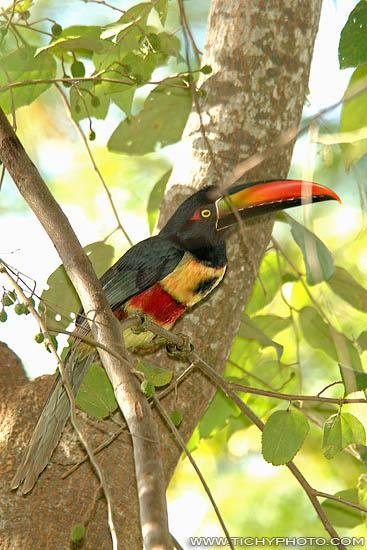 Arassari panamský (Pteroglossus frantzii)