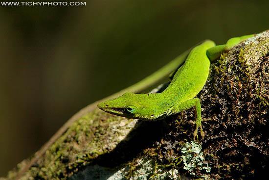 Green Anole (Anoles carolinensis)