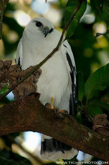 Káně pralesní (Leucopternis albicollis)