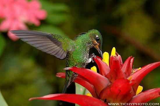 Kolibřík zelenokorunkatý (Heliodoxa jacula)