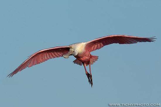 Kolpík růžový (Ajaia ajaja)