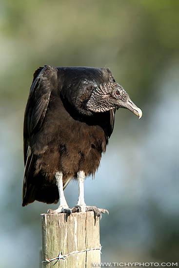 Kondor havranovitý (Coragyps atratus)