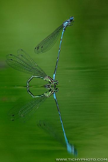 Šidélko páskované (Coenagrion puella)
