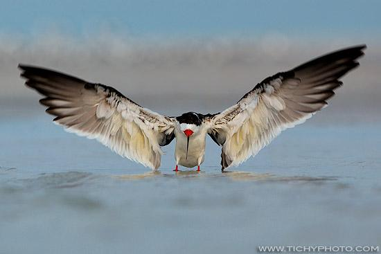 Zoboun americký (Rhynchops niger)