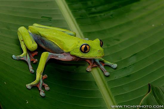 Golden-eyed Leaf Frog fotografie